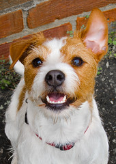 Wonky ear, Holly the wire haired jack russell. (CWhatPhotos) Tags: pictures dog pet white colour grass animal animals shop canon hair that jack photo wire rat jrt paint russell power with shot little photos walk small russel picture adorable straw ears canine run jr holly powershot wirehaired have terrier adobe floppy jackrussell ear type pro wired rough breed wonky haired coloured trot jackrussellterrier crooked ratterrier called s90 lightroom x2 ratterriers ratter strawandwhite