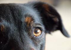 Bonny - Keeping One Eye Open on the World! (antonychammond) Tags: dog eye collie labrador ear bonny rescuedog mfcc thegalaxy pupsneedinghomes labradorcolliecross