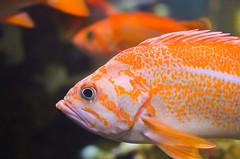 Canary Rockfish (ajblake05) Tags: fish canada animals vancouver britishcolumbia northamerica stanleypark vancouveraquarium captive vertebrates lowermainland greatervancouver vertebrata canaryrockfish sebastespinniger sebastidae
