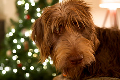 365 - 219 - Where Are You, Christmas? (jeanmariehoward) Tags: december bokeh christmastree christmaslights 365 webley 36520 nikond600 whereareyouchristmas chocolatelabradoodle christmaslightbokeh puppysfirstchristmas chocolatelabradoodlepuppy