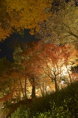Burning (peaceful-jp-scenery) Tags: lighting autumn leaves leaf maple sony sigma    amount     1530mmf3545exdgaspherical dslra900 900 syuzenjinijinosato