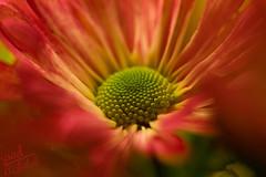 Flower (Saad AL shuhrl     ) Tags: