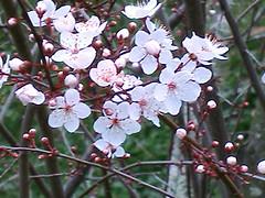 20120210_plum_flower_05 (caligula1995) Tags: 2012 plumtree plumflower plumbud
