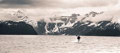 Breach (Silas Fallstich) Tags: blackandwhite nature alaska landscape nikon marine wildli