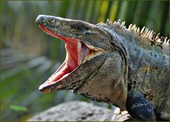 Mexico's Dragon (Stella Blu) Tags: animal closeup open iguana thumbsup ctenosaur blackiguana spinytailediguana nikkor18200 stellablu specanimal 15challengeswinner favescontestwinner friendlychallenges fotocompetition fotocompetitionbronze fotocompetitionsilver nikond5000 favescontesttopseed favescontestfavored