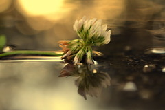 pause (joy.jordan) Tags: puddle clover reflection texture light bokeh blur aftertherain