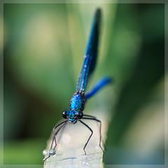 Prachtlibelle_4347 (uwe_cani) Tags: gebnderteprachtlibelle prachtlibelle libelle insekt bach gras makro natur outdoor fauna deutschland nrw rur