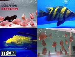 (itpcsopaulo) Tags: tropicais exticos indonsios peixestropicais exportao preoscompetitivos peixes raros brasil