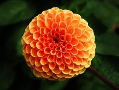 Flower (Hugo von Schreck) Tags: hugovonschreck flower blume blte macro makro outdoor canoneos5dsr tamron28300mmf3563divcpzda010 dahlie