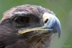 Strict looking (GaborCseh) Tags: telelens ultrazoom zoom eagle beak strict look zoo nature animal bird outdoor