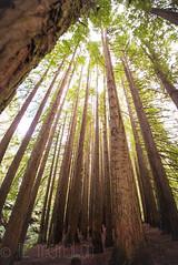 California Redwoods in The Otway Forest... (Liz McMahon) Tags: redwoods beechforest winterinaustralia otwaynationalpark greatoceanroad nikond750 nikon