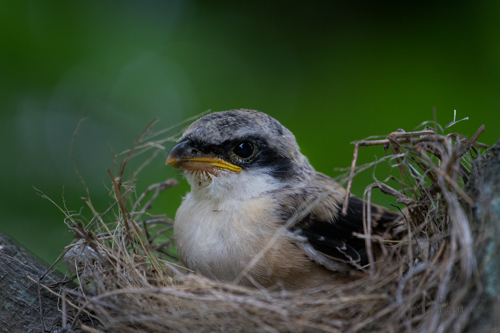the worlds best photos of nest and shrike flickr hive mind