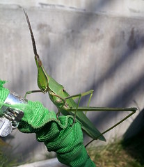 Grasshopper (tagawa) Tags: grasshopper insect wildlife japan
