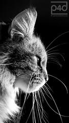 another sunday evening ... (photos4dreams) Tags: photos4dreams p4d photos4dreamz photos photo pics home sputnik sibirian sibirische waldkatze cat male tomcat longhaired fluffy siberian sibi sundaysbestp4d katze black white bw sw schwarz weis weiss