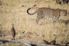 DT-142 (Photography by Brian Lauer) Tags: africa botswana safari safaris wildlife travel nikonphotography nikon lion elephant hippo fisheagle saddlebilledstork piedkingfisher lilacbreastedroller wilddog