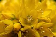 Gilbweiderich 1 (DianaFE) Tags: dianafe blte pflanze blume wildkraut wiesenblume makro tiefenschrfe schrfentiefe