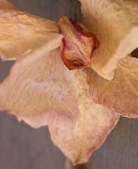SDIM0546-sd1-steinheil- culminar 10,5 cm f4.5 - enlarging lens (ciro.pane) Tags: sigma sd1 merrill foveon orchidea appasita affascinante sempre 105mm f45 culminar enlarging lens italia italy italien italie bokeh