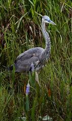 Aug 31 201610938 (Lake Worth) Tags: animal animals bird birdwatcher birds canonef500mmf4lisiiusm canoneos1dxmarkii everglades feathers florida nature outdoor southflorida waterbirds wetlands wildlife wing
