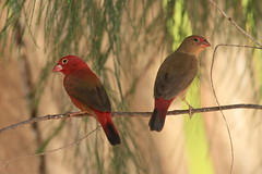 Red-billed Firefinch (Baractus) Tags: redbilled firefinch the gambia john oates sunbird tours