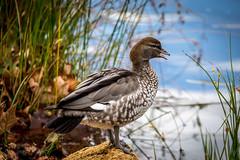 _T1_0491-Edit.jpg (GPTPhotography) Tags: morning flikr wildlife naturewalk lake canon birds teamdigital eastperth