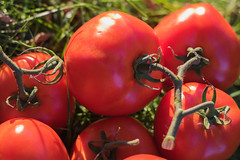 Free (Theresa Best) Tags: food free produce tomato photography canon canon760d canon8000d canont6s fmsphotoaday theresabest sproutingvisions theresa best sprouting visions garden grow