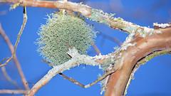 Lichen_3058 (gtveloce) Tags: lichen tree ball centralcoast nsw australia