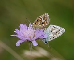 Chalk hill blues (jump for joy2010) Tags: chalkhillblue polyommatuscoridon poleeohmaytusskoridon insect august 2016 poldenhills somerset uk sexualbehaviour atit wildflowers grassland knautiaarvensis fieldscabious ladyspincushion blue bonnetscombe hillthe polden way mating butterfly lilac