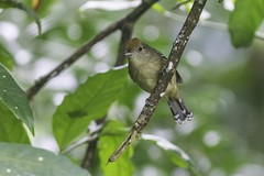 Myrmotherula axillaris (Luiz Baroni Junior) Tags: 2016 ano aves choquinhadeflancobrancomyrmotherulaaxillaris cidade estado fotgrafo lugares luizbaronijunior pistacludiocoutinho riodejaneiro urca brasil