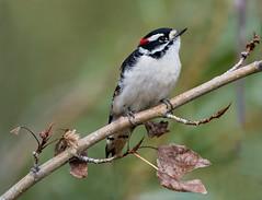 Downey On a branch (Robert Ron Grove 2) Tags: bird wildlife robertgrove branch red downey woodpecker small