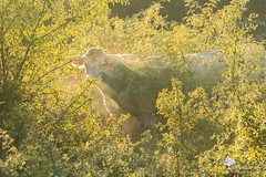 In the sunlight (photosenvrac) Tags: photo lumire brume vache nature thierryduchamp