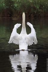 Mute Swan (Cygnus olor) (Jeff G Photo - 2m+ views! - jeffgphoto@outlook.com) Tags: shoulderofmuttonpond wansteadpark eppingforest park swan swans muteswans muteswan cygnusolor bird birds