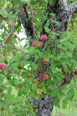 Apples in tree (pegase1972) Tags: qubec quebec canada pomme apple fruit