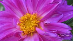aster ( Graa Vargas ) Tags: aster asteraceae graavargas 2016graavargasallrightsreserved flower pink