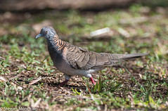 Bar-shouldered Dove (Stewart M) Tags: 2016 barshoulderdove darwin eastpoint nt northernterritory bird geopeliahumeralis