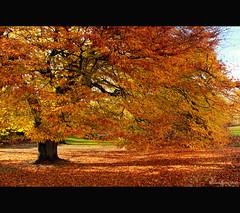 ... (orquideada) Tags: autumn trees light naturaleza tree luz leaves canon hojas arbol scotland glasgow parks escocia otoo naranja lightships parques botanicgardensglasgow canoneos600d