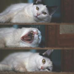 088.365.02 (Randomographer) Tags: cat kat feline yawn bored kitty fluffy sleepy gato katze sequence 猫 macska חתול kočka 貓 yawning katt kissa köttur kucing кошка 고양이 feliscatus γάτα project365 แมว conmèo बिल्ली thecatwhoturnedonandoff ldlportraits rslphotography rslphotographics