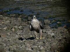 Peale's Peregrine - Bodega Bay - 2571 (Len Blumin) Tags: video peregrinefalcon falcoperegrinuspealei falcoperigrinus pealesfalcon