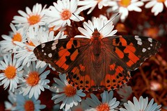 Painted Lady  |  Distelfalter  |   White Aster [Explored Nov 10, 2012] (G_E_R_D) Tags: germany cosmopolitan asters paintedlady distelvlinder astern vanessacardui distelfalter whiteaster tistelfjril vanesseduchardon