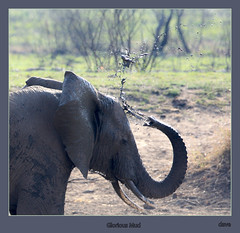 Glorious Mud (david.gill12) Tags: elephant southafrica pilansberg mudspray