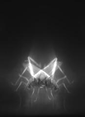 g h o s t h o p p e r (Griffin Riley Miller) Tags: blackandwhite distortion art animal fog digital bug insect photography mirror photo artist legs image head ghost experiment double odd anatomy refraction grasshopper hopper dripping alternative saic griffinmiller