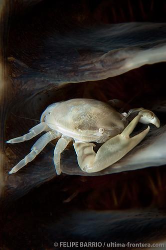 Three-lobed porcelain crab