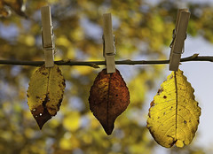 Hanging onto Autumn! (janetmeehan) Tags: autumn trees ireland dublin color fall nature leaves canon garden leaf bokeh naturallight depthoffield autumnscene autumnlight stilllifephotography fallscene