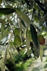 Aceitunas (@ntop@r) Tags: naturaleza verde green nature olive natura fiori piante aceitunas