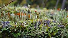 Cladonia spp - Bialowieza National Park