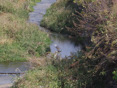 egret and heron (eulewald) Tags: birds pentax 06 pentaxq 06telephotozoom
