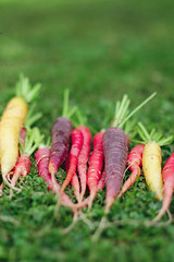Carrots on grass (zapxpxau) Tags: autumn green vegetables grass gardening lawn harvest crop carrot heirloom carrots veggies colourful root veg allotment