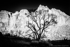 Zion National Park, infrared (jev) Tags: world park leica travel family vacation usa tourism nature ecology rock america landscape landscapes utah highway scenery day mt air north rangefinder tourists national american carmel m8 infrared environment daytime zion states manual geology zionnationalpark visitors environmentalism 45mm locations ecosystem destinations leicam8 06000000 06007000 cosinavoigtlandernoktonclassic35mmf14sc 06002000 06002002 utahnevadadec510 alamyready leicaimages wwwartqcom
