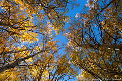 Blue and Gold Aspen Canopy (Kurt Lawson) Tags: california autumn tree fall gold sierra aspens sierras aspen canopy sierranevada quaking easternsierras