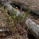 Gompholobium latifolium habit thumbnail