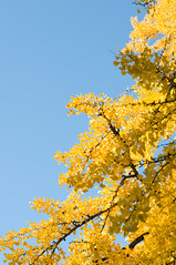 yellow leaf (darmasa) Tags: sky tree japan leaf kyoto     sora